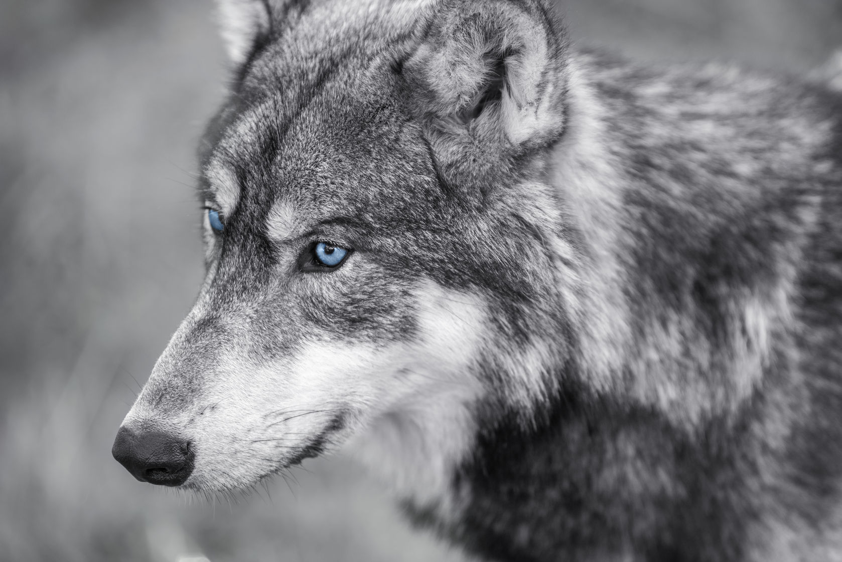 canis lupus, with blue eyes